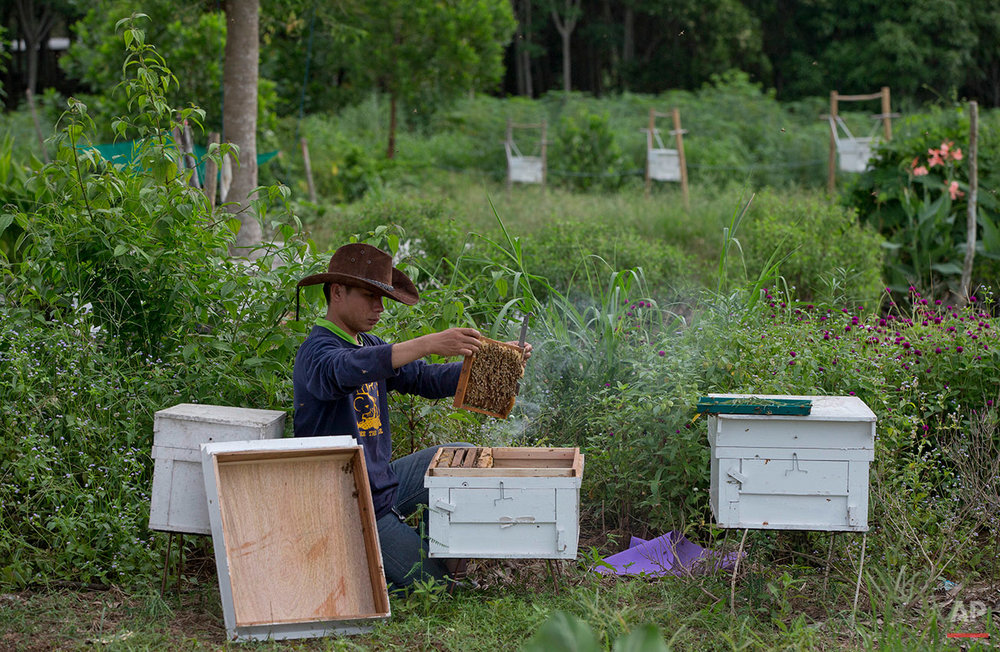 In this Friday, Aug. 19, 2016 photo, a researcher from the Thai Department of National Parks checks the quality of beehives before installing them around the perimeter of a small farm in hopes of preventing wild elephants from intruding on the property in Pana, southeastern province of Chanthaburi, Thailand. Traditionally bee hives are usually placed on the ground, but here researchers raise them on stilts, at the elephants' eye-level in hopes of deterring them from encroaching on the property. (AP Photo/Gemunu Amarasinghe)