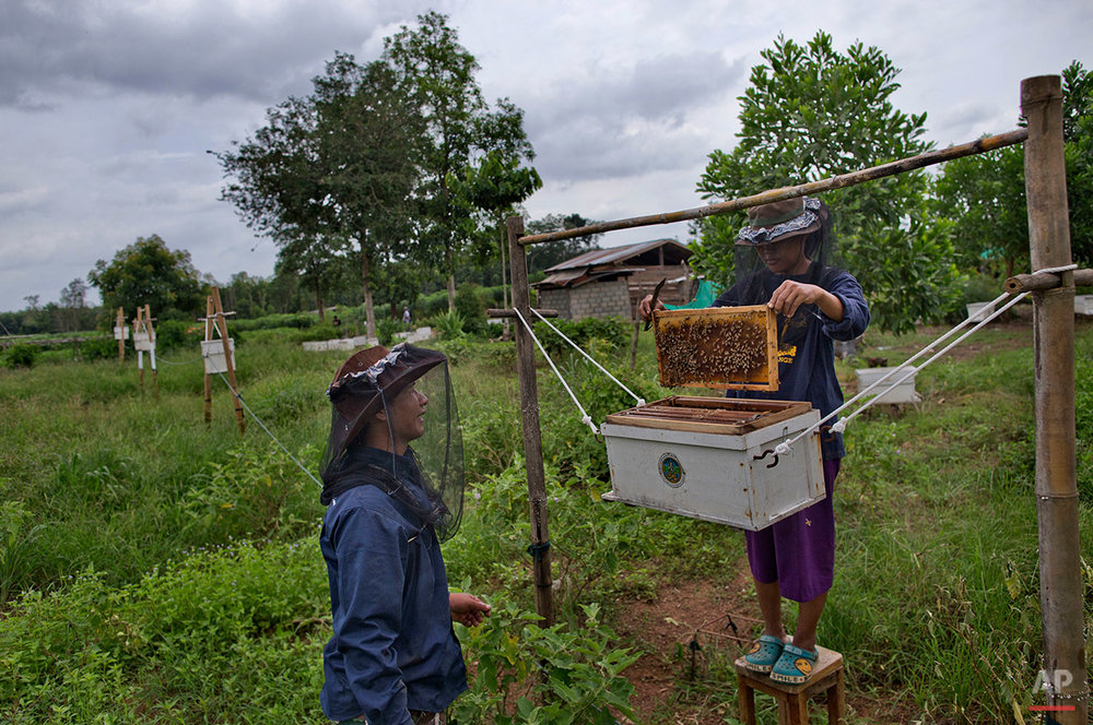 In this Friday, Aug. 19, 2016 photo, Dararath Sirimaha, right, a farmer and newly trained beekeeper, checks a beehive on the perimeter of her family's property in Pana, southeastern province of Chanthaburi, Thailand. To stop wild elephants rampaging through their crops, farmers are trying a pilot scheme run by the Thai Department of National Parks that is deploys bees as a new line of defense, exploiting elephants' documented fear of bee stings. (AP Photo/Gemunu Amarasinghe)