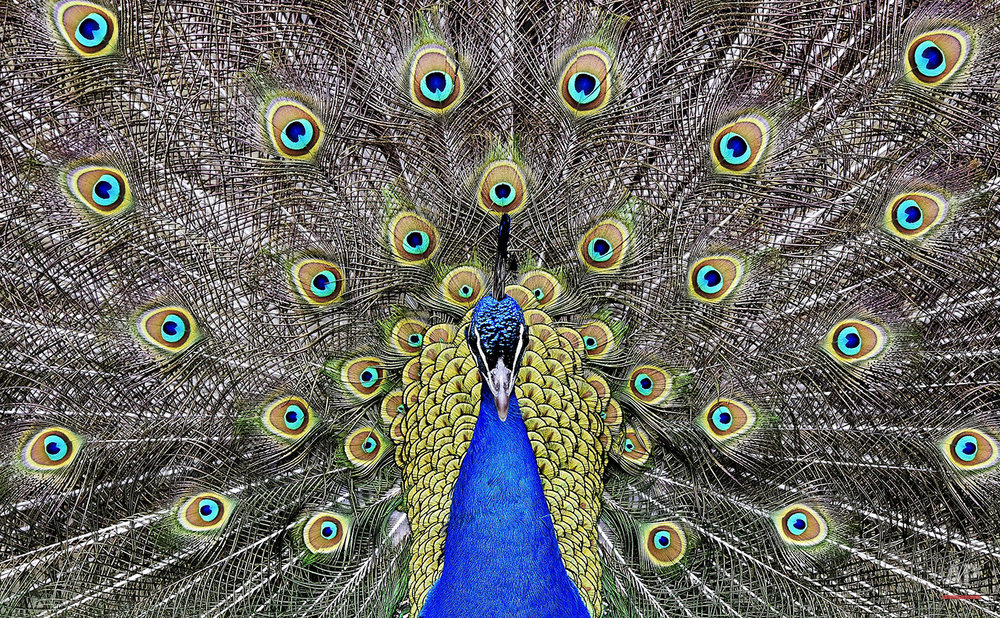 A peacock displays its colorful feathers at the zoo in Duisburg, Germany, Thursday, March 31, 2016. (AP Photo/Martin Meissner)