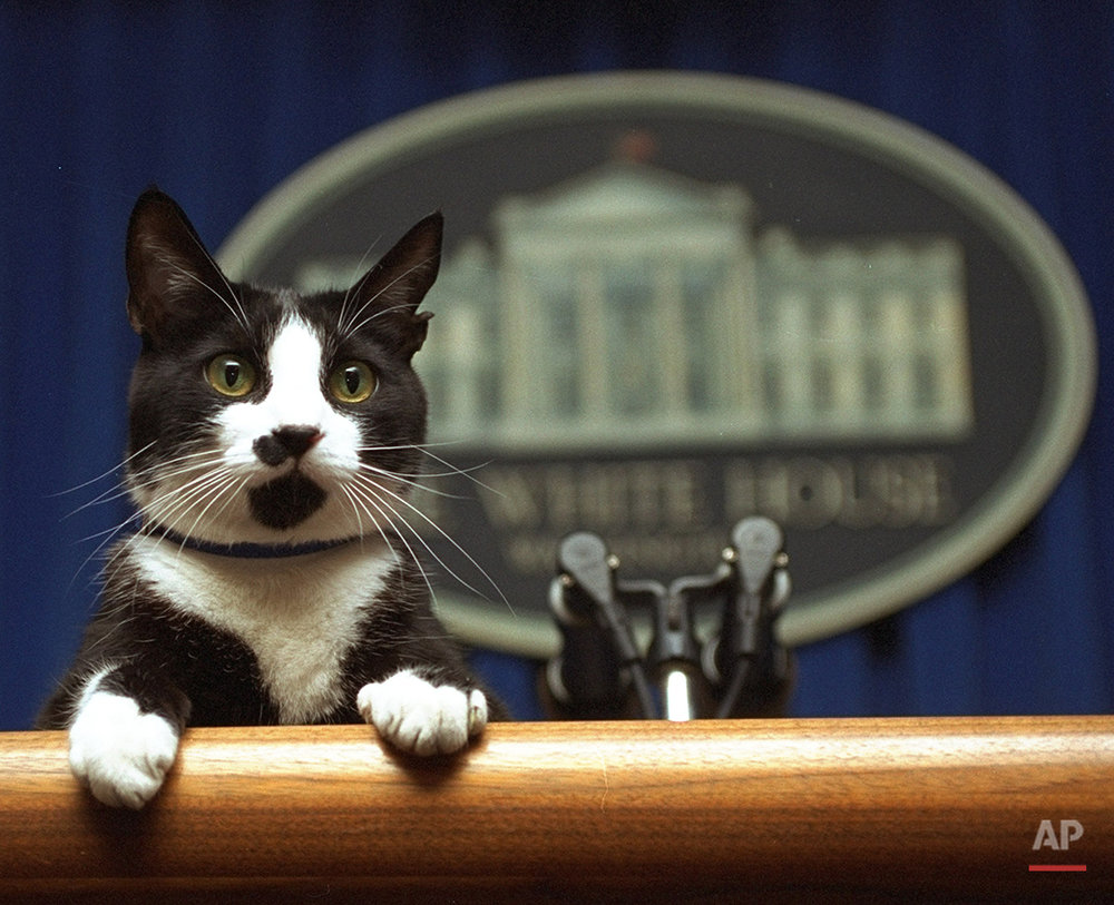 Socks the cat peers over the podium in the White House briefing room Saturday March 19, 1994.  A White House groundskeeper was walking Socks when he stopped and lifted Socks to the podium.  (AP Photo/Marcy Nighswander)