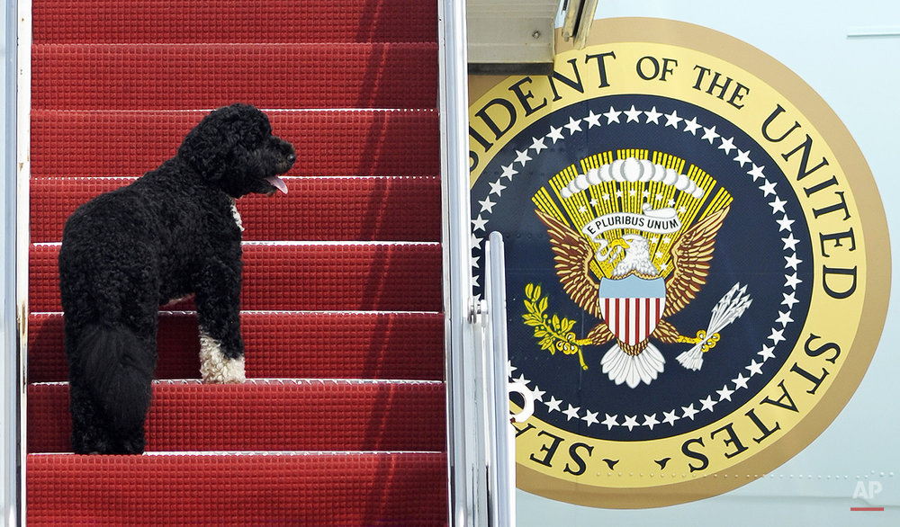 This Aug. 4, 2010 photo shows presidential pet Bo climbing the stairs of Air Force One at Andrews Air Force Base, Md. for a flight to Chicago with President Barack Obama. Dallas author Jennifer Boswell Pickens interviewed everyone from first family members to White House staffers to give readers a glimpse at what life is like at 1600 Pennsylvania Ave. for pets and what those pets have meant to their famous owners. (AP Photo/Cliff Owen)