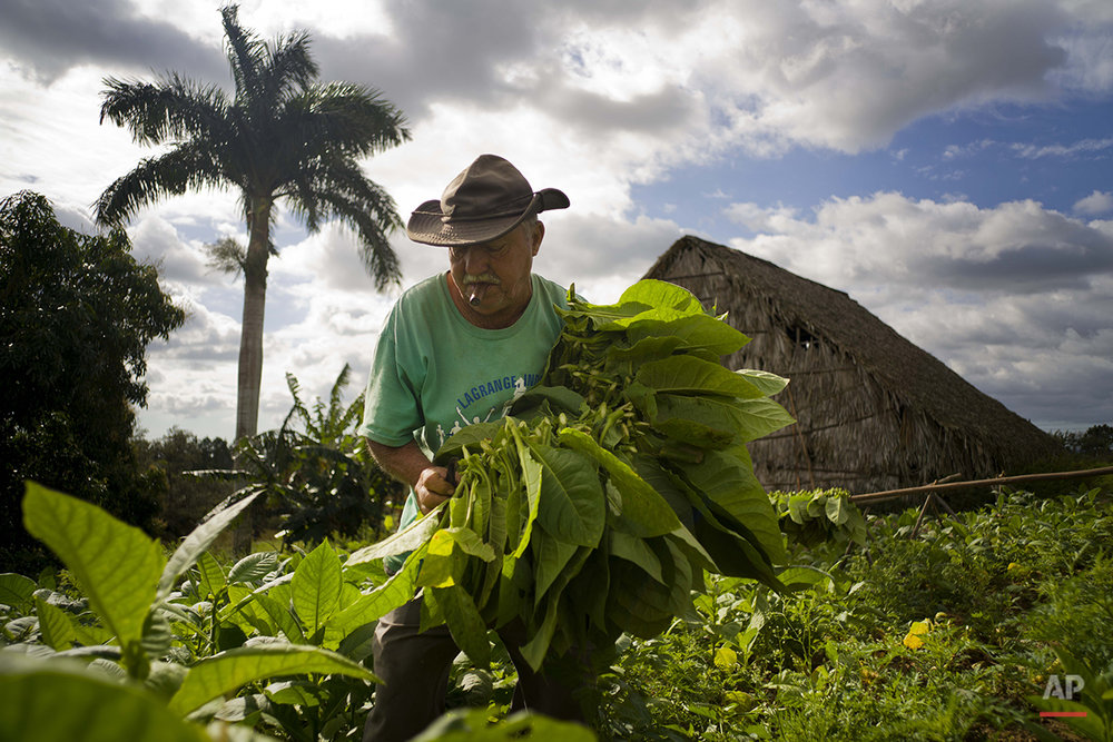 Cuba Tobacco Farming Photo Gallery