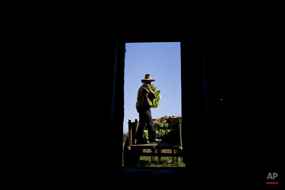 In this Feb. 26, 2016 photo, Jorge Luis Leon Becerra moves freshly picked tobacco leaves to a building where they will be dried on the Martinez tobacco farm in the province of Pinar del Rio, Cuba. Farmers in Cuba's tobacco country are benefiting from the tourist boom since the U.S. and Cuba reestablished relations by converting their farms into tourist attractions. (AP Photo/Ramon Espinosa)