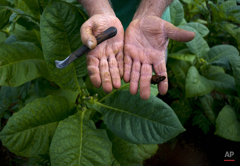 In this Feb. 27, 2016 photo, Raul Valdes Villasusa, 76, shows his hands, hardened by years of work on his tobacco farm in Vinales in the province of Pinar del Rio, Cuba. Villasusa, who grew up on his family's farm, said his operation is organic, not using any chemicals on his crop. (AP Photo/Ramon Espinosa)