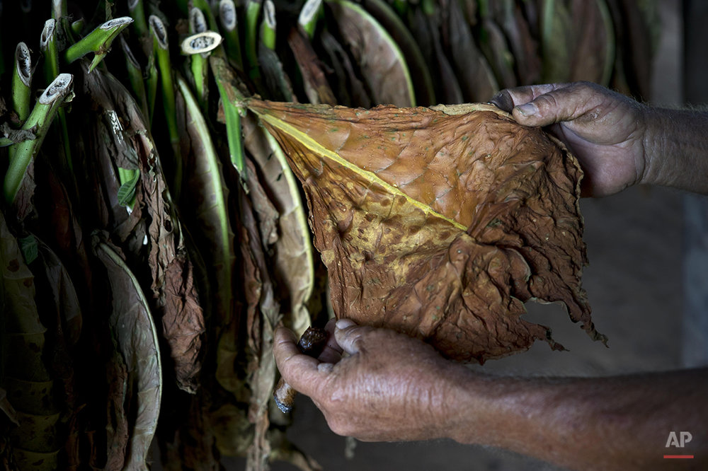 In this Feb. 27, 2016 photo, Raul Valdes Villasusa shows tobacco that was grown without artificial fertilizers on his tobacco farm, inside a building where leaves are dried in Vinales in the province of Pinar del Rio, Cuba. His farm forms part of a co-op of tobacco farmers who sell their crop to the government and keep a small portion for themselves. (AP Photo/Ramon Espinosa)