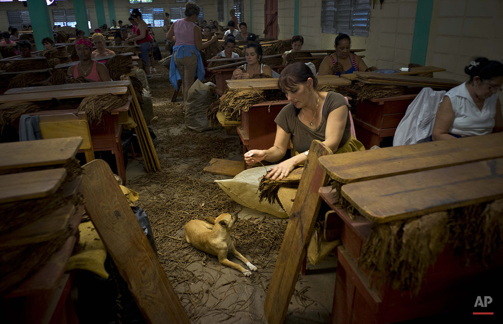 "In this March 1, 2016 photo, women select and clean tobacco leaves inside a state-run warehouse in the province of Pinar del Rio, Cuba. After the central vein is removed from each dried leaf, they're dipped in ammonium and water and dried again for at least two months. The more years the leaves are allowed to dry, like wine, the more valuable they are considered by cigar enthusiasts, and called ""reserve"" cigars. (AP Photo/Ramon Espinosa)"