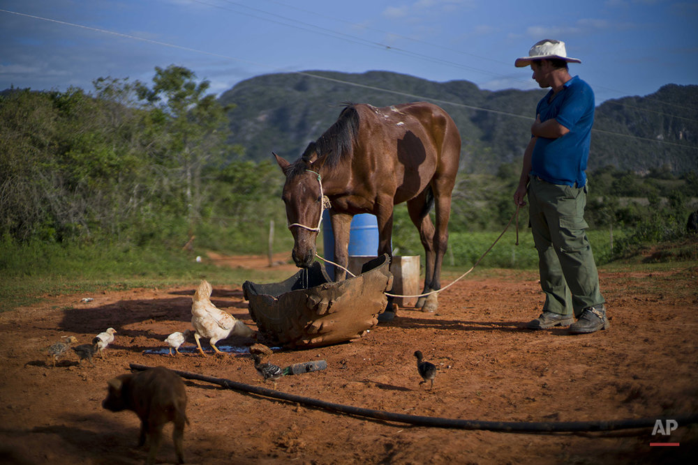 "In this Feb. 27, 2016 photo, Yoberlan Castillo Garcia waits as one of his horses drinks water on the small tobacco farm he runs with his brother-in-law in Vinales in the province of Pinar del Rio, Cuba. Garcia said they call the horses they rent to tourists ""automatics"" because they return on their own. (AP Photo/Ramon Espinosa)"