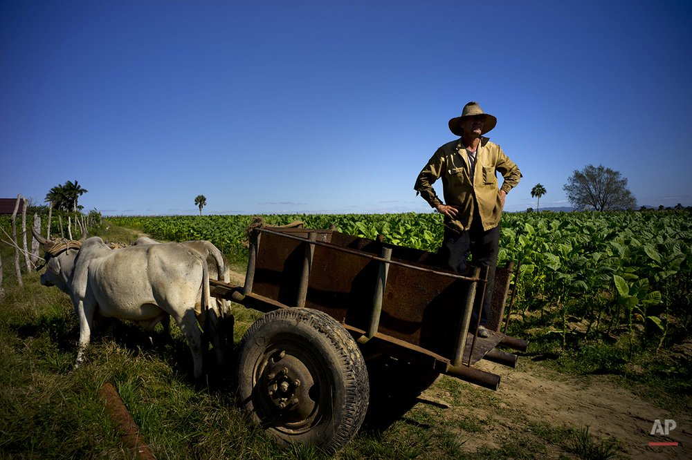 In this Feb. 26, 2016 photo,  Jorge Luis Leon Becerra, 43, waits on his oxcart for workers to bring their freshly picked tobacco leaves before takinge them to a warehouse for drying at the Martinez tobacco farm in the province of Pinar del Rio, Cuba. Unseasonably heavy rains have damaged Cuba's tobacco crop and raised questions about iconic cigar brands that some aficionados hope will not suffer from declining quality amid higher demand.  (AP Photo/Ramon Espinosa)