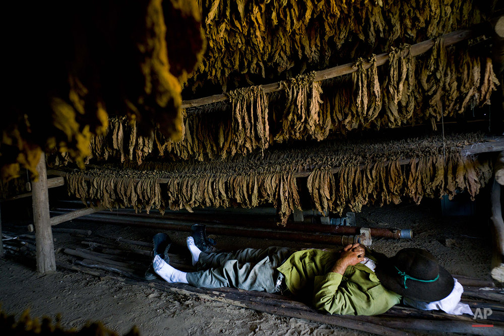 In this Feb. 26, 2016 photo, a worker takes a break under drying tobacco leaves at the Montesino tobacco farm in the province of Pinar del Rio, Cuba. The Montesino farm has been in the same family for three generations and is one of the most renowned Cuban tobacco producers. (AP Photo/Ramon Espinosa)