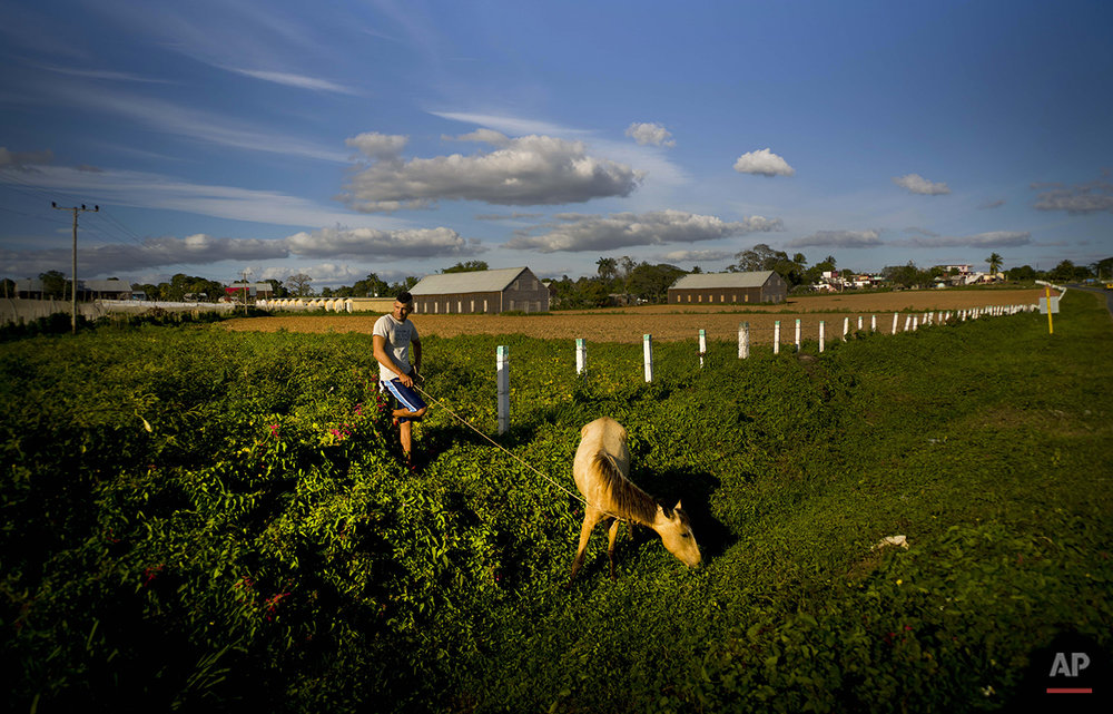 In this Feb. 26, 2016 photo, a tobacco worker spends the late afternoon grazing his horse on the roadside after hsi workday on the Yoandri Hernandez tobacco farm in the province of Pinar del Rio, Cuba. Workers say they're eager to see more benefits of Cuba's increasing links to the outside world since the start of new relations with U.S., without losing the placid lifestyle of the last half-century. (AP Photo/Ramon Espinosa)