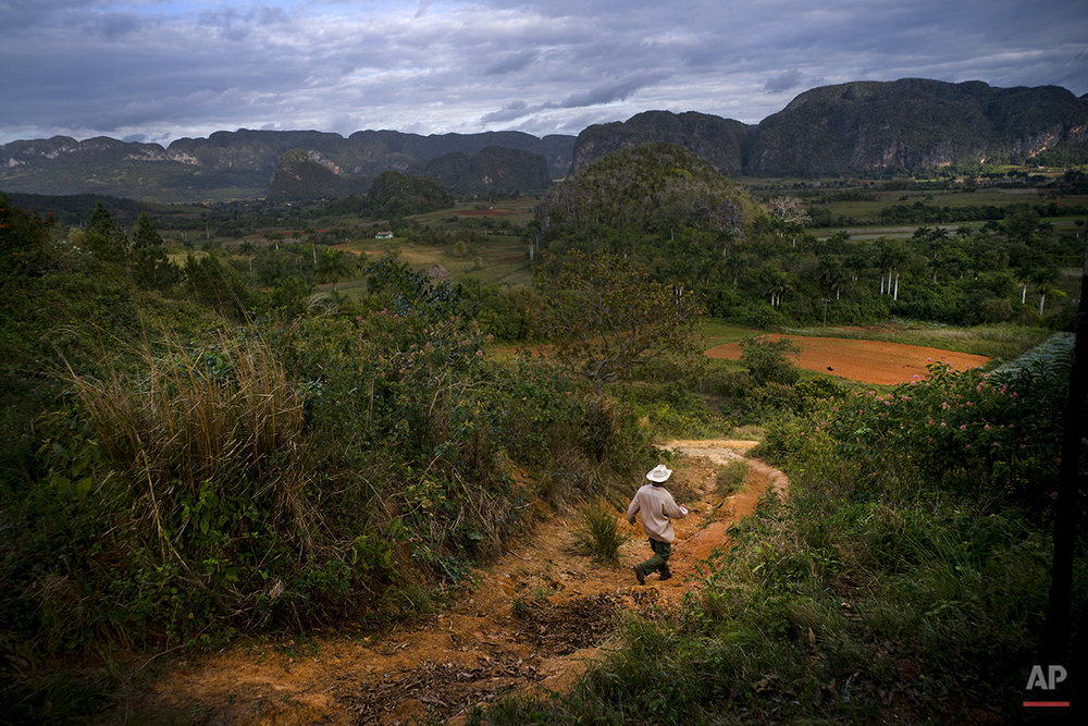 In this Feb. 27, 2016 photo, Yoberlan Castillo Garcia walks in the cold morning air to his small tobacco farm in Vinales in the province of Pinar del Rio, Cuba. Garcia, 30, said he's been running the farm with his brother-in-law for the last 10 years. As he walked to check on the land, his brother-in-law took tourists on a tour of their farm by horse. (AP Photo/Ramon Espinosa)