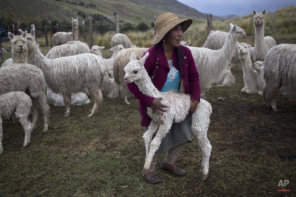 APTOPIX Peru Alpaca Fiber Photo Gallery