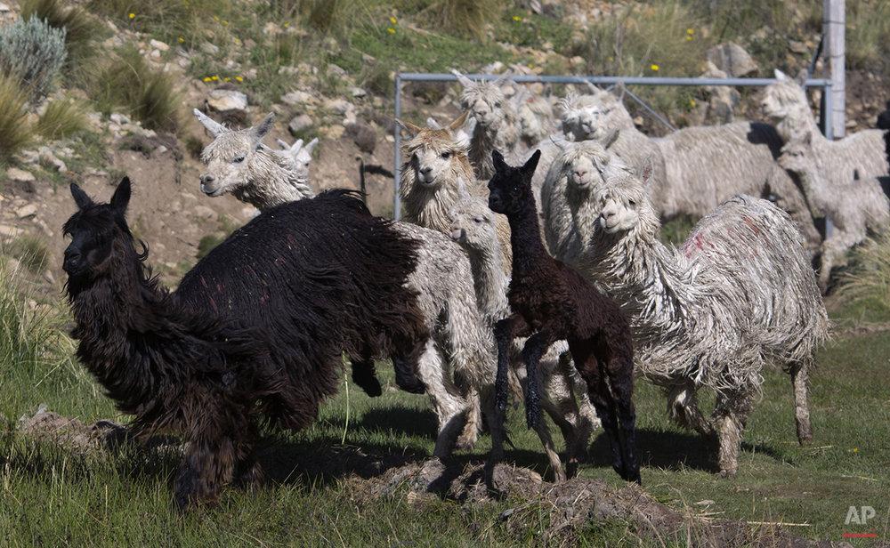 Peru Alpaca Fiber Photo Gallery