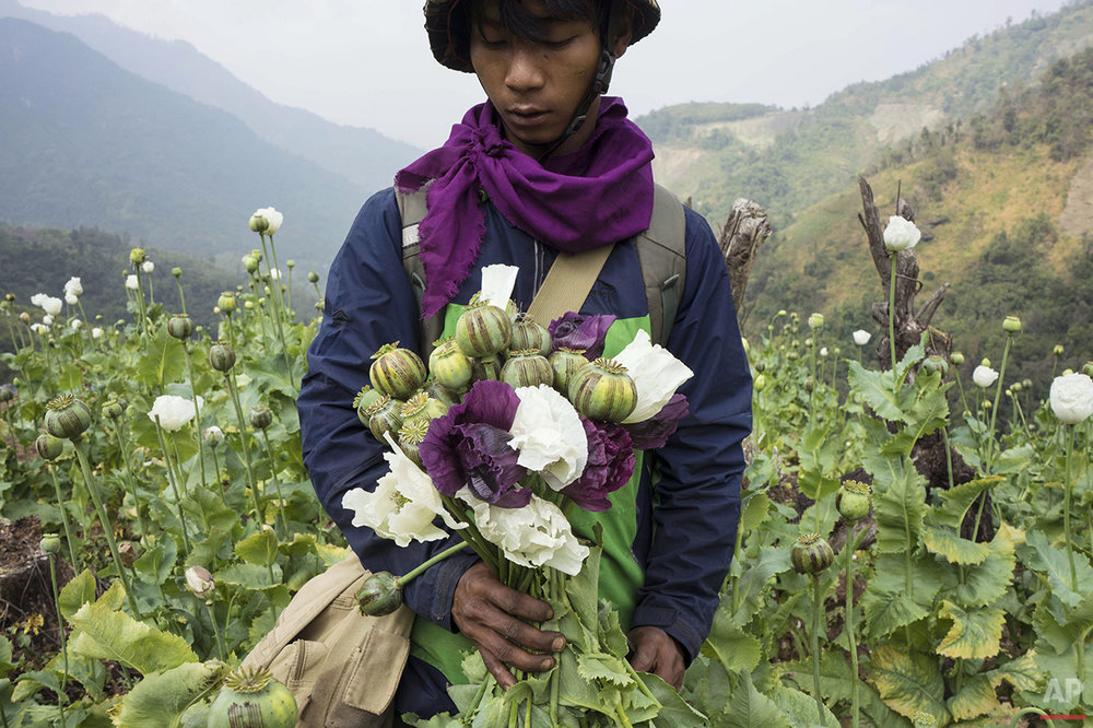 APTOPIX Myanmar Opium Eradication Photo Gallery