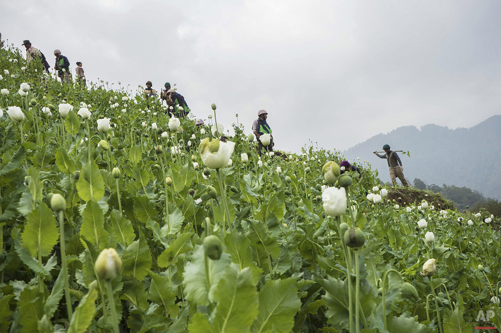 Myanmar Opium Eradication Photo Gallery
