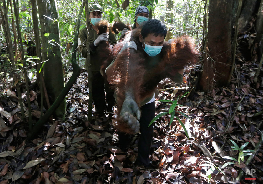 Indonesia Orangutan Rescue Photo Gallery