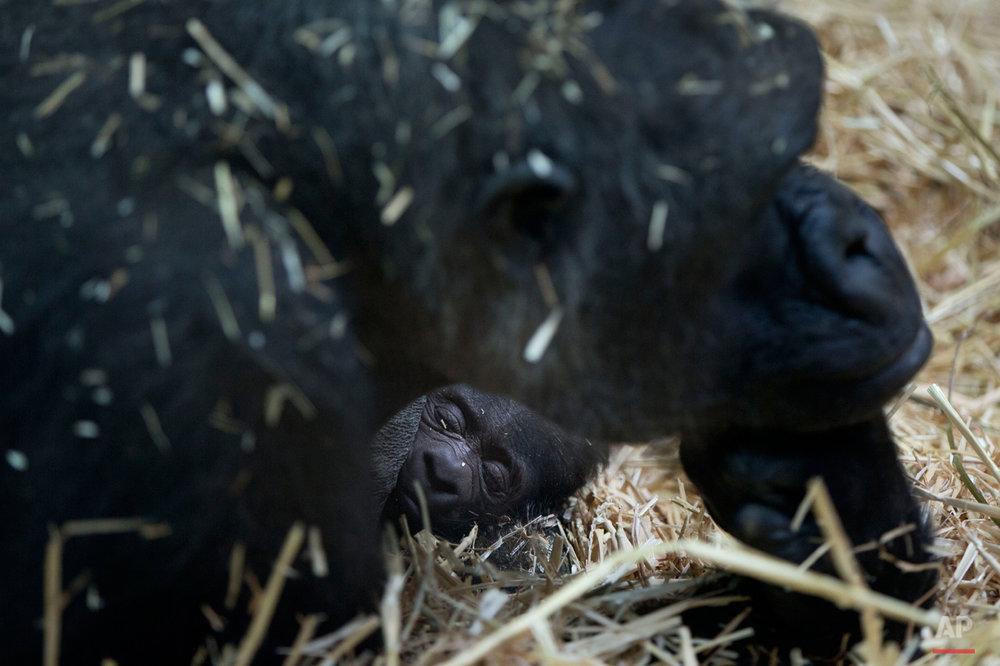 Netherlands Baby Gorilla