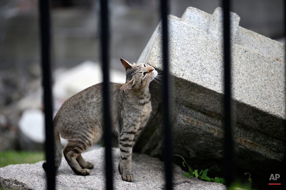 In this July 4, 2015 photo, a stray cat frolic with debris at the Atomic Bomb Dome, as it is known today in Hiroshima, Hiroshima Prefecture, southern Japan. The three-story building was just 160 meters (525 feet) from the epicenter of the blast, yet was the only thing left standing in the area. It was one of the few structures built of brick, stone and steel in what was essentially a wooden city. Most buildings were flattened and burned by the bomb, which turned the seaport into a wasteland and killed an estimated 140,000 people, including those who died from their injuries or radiation exposure though the end of 1945. (AP Photo/Eugene Hoshiko)