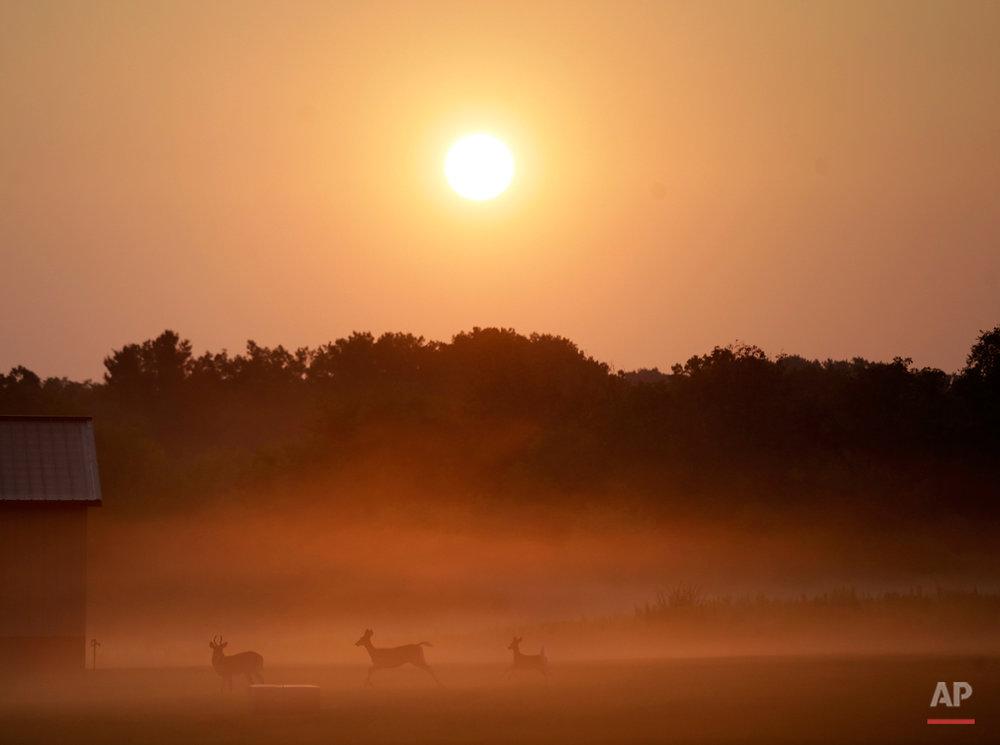A buck deer, a doe and a fawn walk across a pasture in morning fog Sunday, Aug. 30, 2015, on a farm near Newtown, Pa. (AP Photo/Mel Evans)