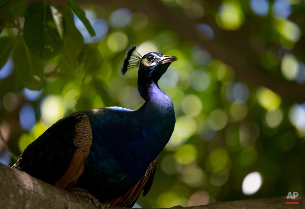 A peacock roosts in a tree in Crandon Park Gardens, Wednesday, Aug. 19, 2015, in Key Biscayne, Fla. The gardens are situated at the former site of the Miami Zoo. (AP Photo/Wilfredo Lee)