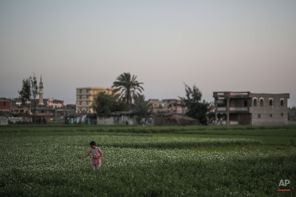 In this Wednesday, May 13, 2015 photo, a girl picks flowers from pasture plants on her family's farm, as recently constructed houses are seen in the background, in a village in the Nile Delta town of Behira, 300 kilometers (186 miles) north of Cairo, Egypt. In the absence of government subsidies and modern machinery, impoverished famers struggle to make ends meet and feel they have no choice but to build on their own land or sell it off, bit by bit. (AP Photo/Mosa'ab Elshamy)