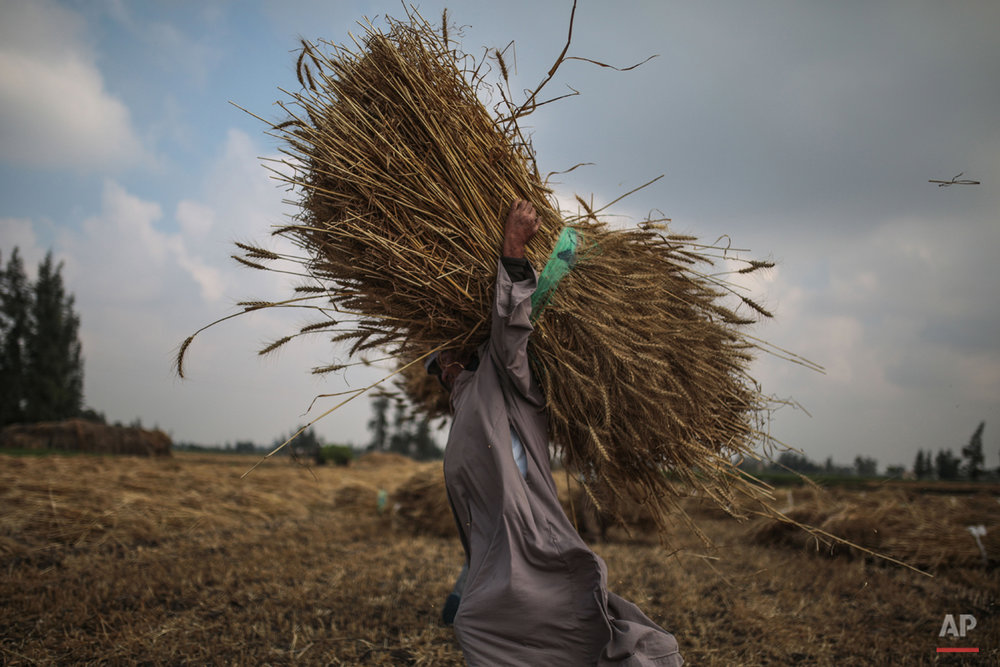 In this Thursday, May 14, 2015 photo, a farmer carries wheat before harvest on=n his farm in a village in the Nile Delta town of Behira, 300 kilometers (186 miles) north of Cairo, Egypt. Urban growth has become the chief threat to farmland as Egyptian farmers haphazardly _ and illegally _ build new houses to make room for the next generation. (AP Photo/Mosa'ab Elshamy)
