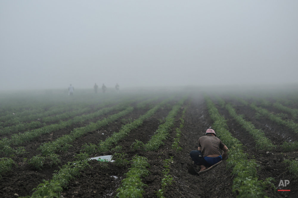 In this Thursday, May 17, 2015 photo, farmers work on their watermelon farm in the early day's fog, in a village in the Nile Delta town of Behira, 300 kilometers (186 miles) north of Cairo, Egypt. Lush green farms once stretched all around the Nile River, the fertile dark soil a vital source of life since the Pharaonic times, when ancient Egyptians developed some of the first sophisticated farming methods in the region. (AP Photo/Mosa'ab Elshamy)