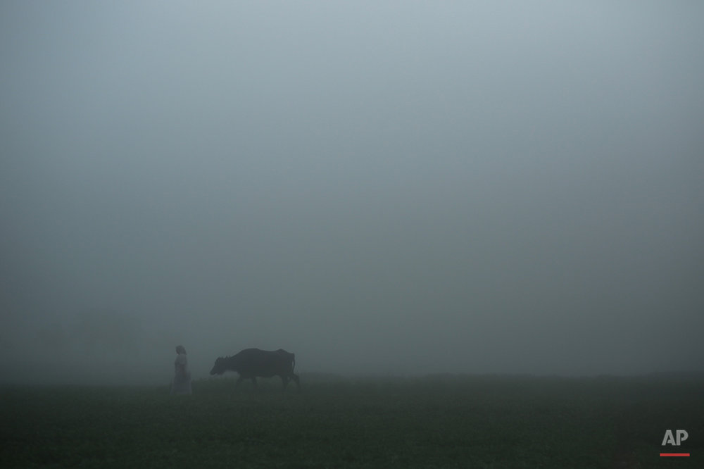 In this Thursday, May 17, 2015 photo, a farmer leads her cow on the way to her farm, engulfed by the early day's fog, in a village in the Nile Delta town of Behira, 300 kilometers (186 miles) north of Cairo, Egypt. Lush green farms once stretched all around the Nile River, the fertile dark soil a vital source of life since the Pharaonic times, when ancient Egyptians developed some of the first sophisticated farming methods in the region. (AP Photo/Mosa'ab Elshamy)