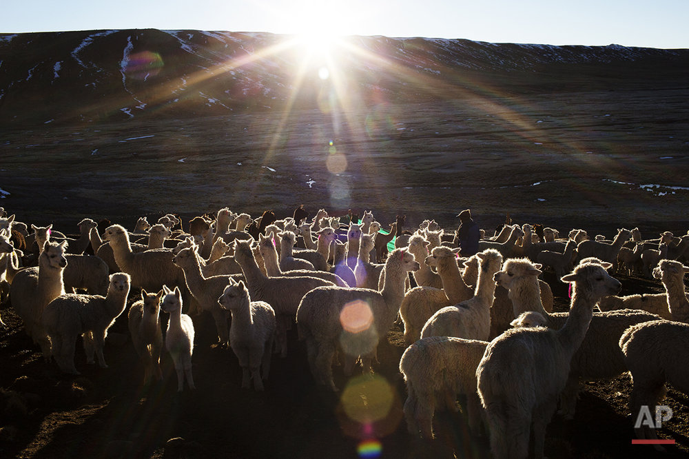 In this July 11, 2016 photo, a villager walks through a herd of alpacas as the sun rises in San Antonio de Putina in the Puno region of Peru. Peru is the world's largest producer of alpaca wool, an almost silky natural fiber coveted by the world's top-flight designers. (AP Photo/Rodrigo Abd)