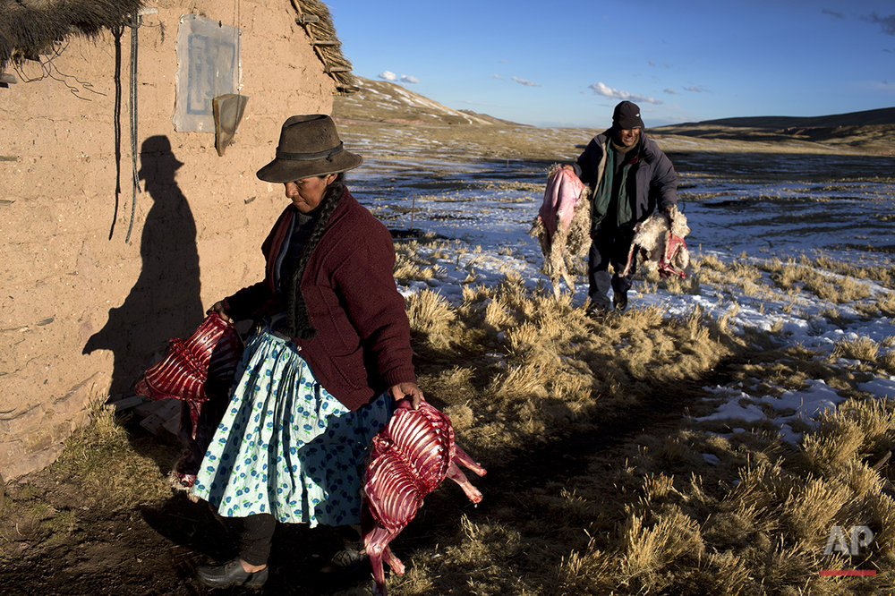 In this July 10, 2016 photo, Felipa Catunta and her husband Modesto carry what remains of their alpacas that died due to sub-freezing temperatures in San Antonio de Putina in the Puno region of Peru. Every alpaca that dies represents a major financial loss. The couple butchered their dead alpacas to cook for their family and feed to their dogs which scare off foxes that prey on baby alpacas. (AP Photo/Rodrigo Abd)