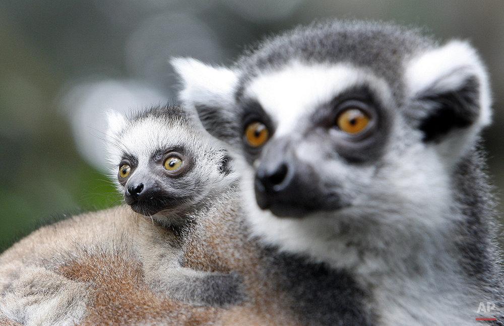 Singapore Lemurs