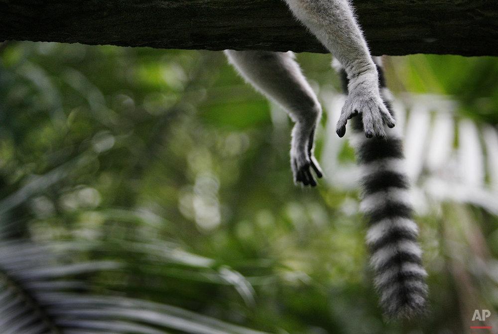 APTOPIX Singapore Lemur