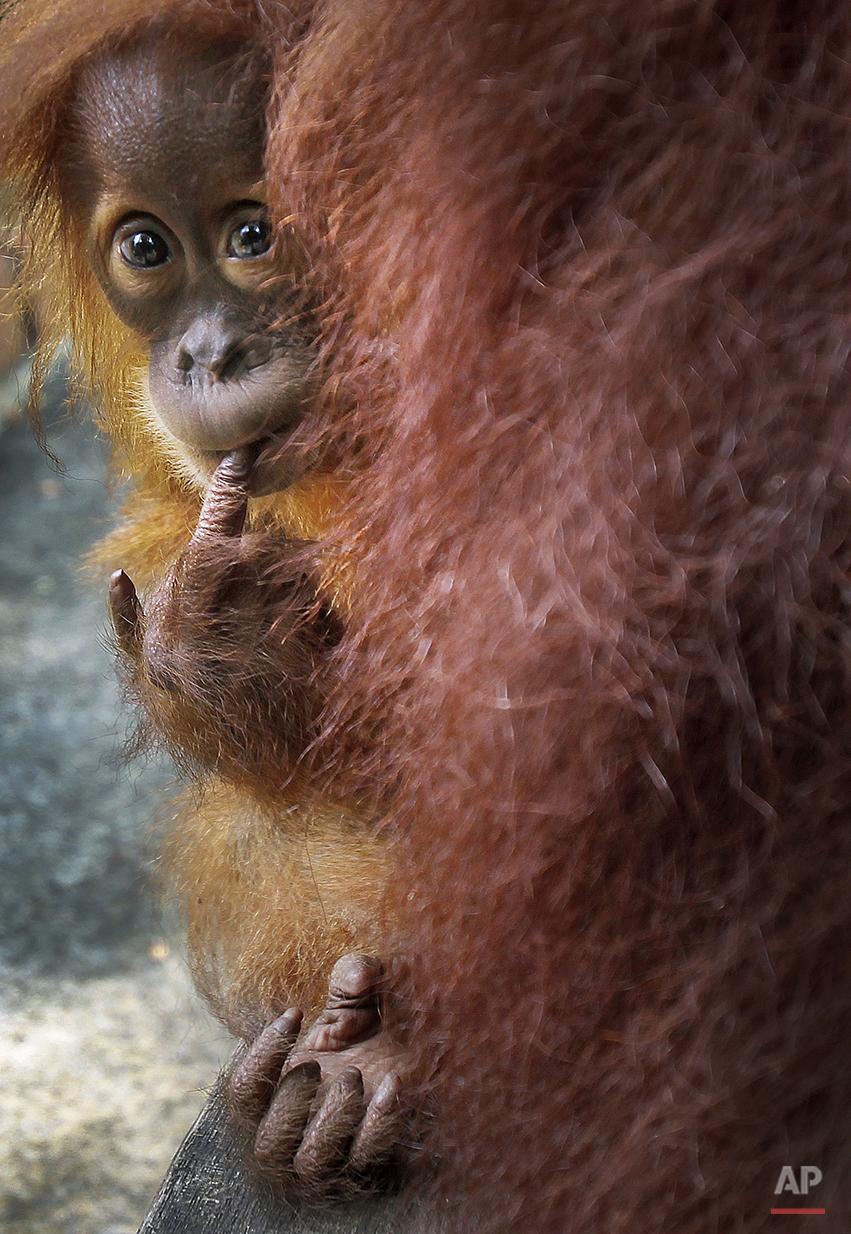 APTOPIX Singapore Zoo Babies