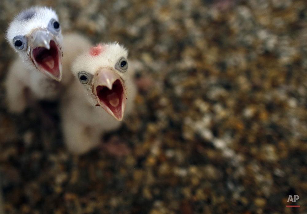 Serbia Breeding Falcons Photo Gallery
