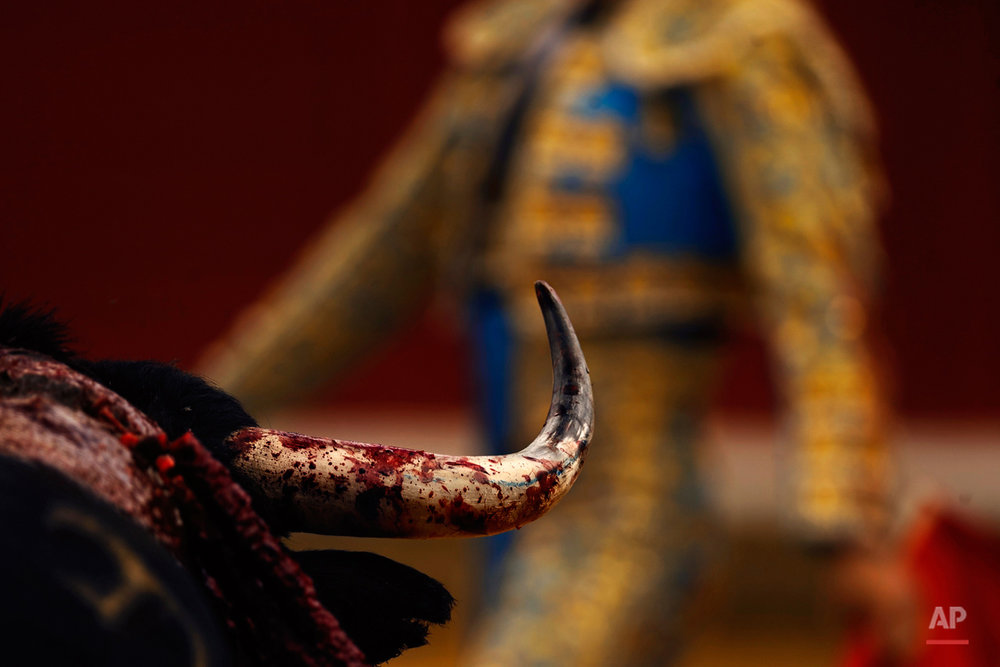 A bull's horn is stained with his own blood as Spanish bullfighter Manuel Escribano performs during a bullfight in Toro, Spain, Thursday, Aug. 28, 2014. In August hundreds of villages around Spain celebrate their patron saints, with bullfights, music and parties on the streets. (AP Photo/Daniel Ochoa de Olza)
