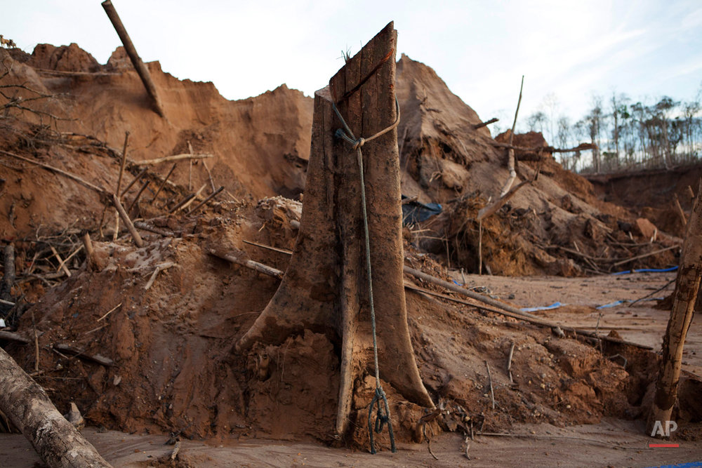 In this May 3, 2014 photo, a rope hangs around the trunk of a tree at a illegal gold mining process in La Pampa in Peru's Madre de Dios region. An estimated 20,000 miners toil in this malarial expanse of denuded rainforest known as La Pampa. (AP Photo/Rodrigo Abd)