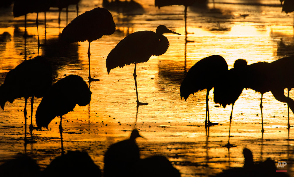 APTOPIX Sand Hill Cranes Photo Gallery