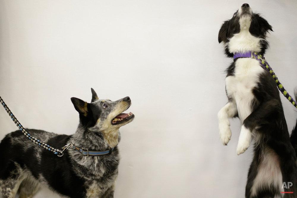Dog Show Agility