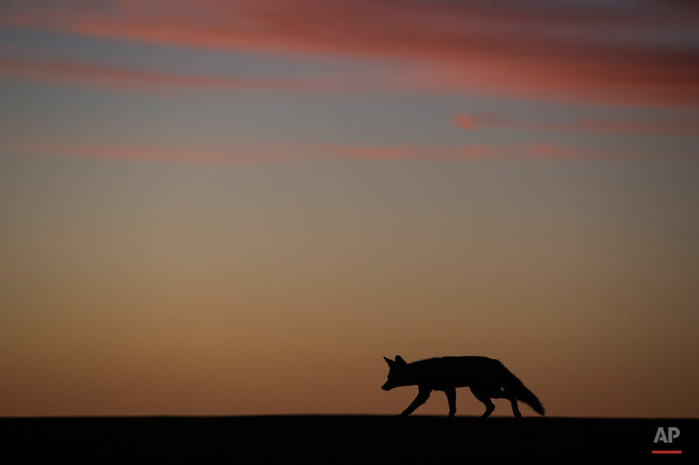 A coyote walks along the runway of a small desert airport during the fourth stage of the Dakar Rally 2015 between Chilecito, Argentina and Copiapo, Chile, as the sun sets on Wednesday, Jan. 7, 2015. The race will finish on Jan. 17, passing through Bolivia and Chile before returning to Argentina where it started. (AP Photo/Felipe Dana)