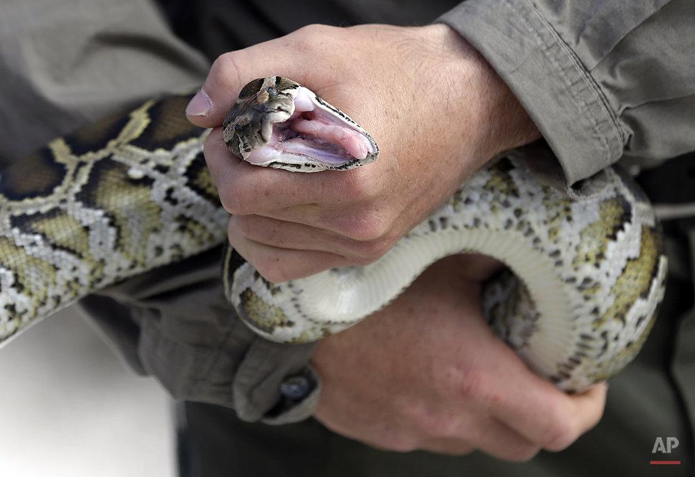APTOPIX Rock Pythons