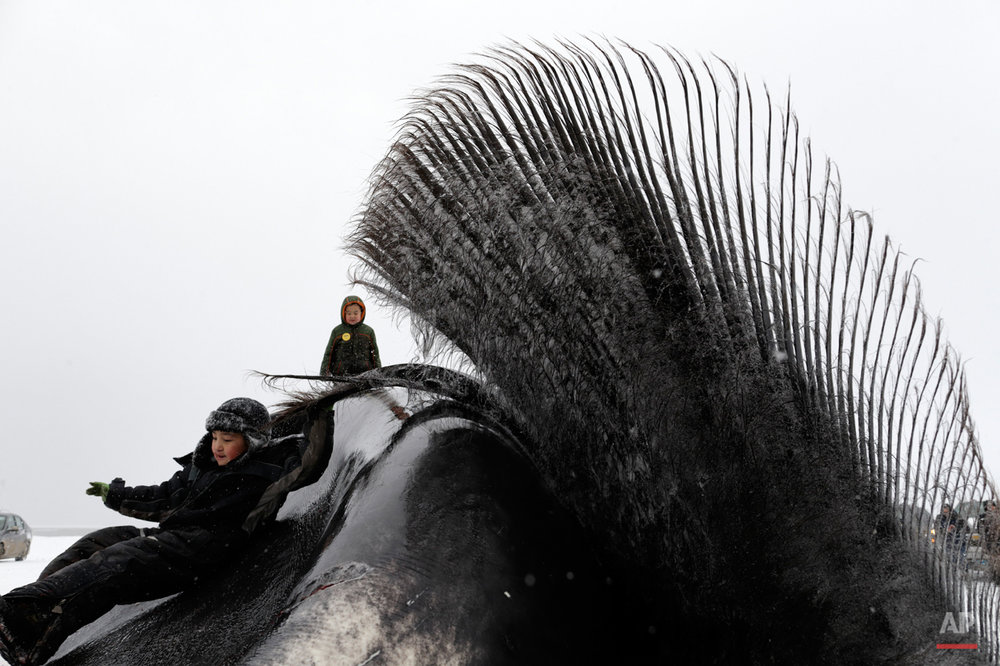 In this Oct. 7, 2014, photo, a boy holds on to the baleen of a bowhead whale before work begins to butcher the whale near Barrow, Alaska. A chilly celebration takes place on the frozen fields as a whale is brought ashore. The hours-long process of butchering the whale brings the town together for the event. (AP Photo/Gregory Bull)