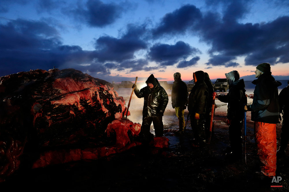 In this Oct. 7, 2014, photo, Fredrick Brower, center, helps cut up a bowhead whale caught by Inupiat subsistence hunters on a field near Barrow, Alaska. Drawing on tradition, and keeping within the closely monitored Aboriginal subsistence whaling guidelines, a bowhead whale is carved and divided by a crew armed with knives and hooks, and then shared according to custom. (AP Photo/Gregory Bull)