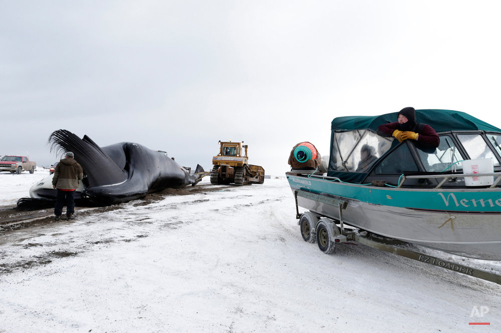 In this Oct. 7, 2014, photo, an Inupiat whaler looks on from a boat on a trailer as a bowhead whale is hauled onto shore after a catch near Barrow, Alaska. During the fall, whaling is done in small boats and few crew members. Once a whale is caught, it is pulled ashore by the tiny boats, in an effort that often takes hours.   (AP Photo/Gregory Bull)