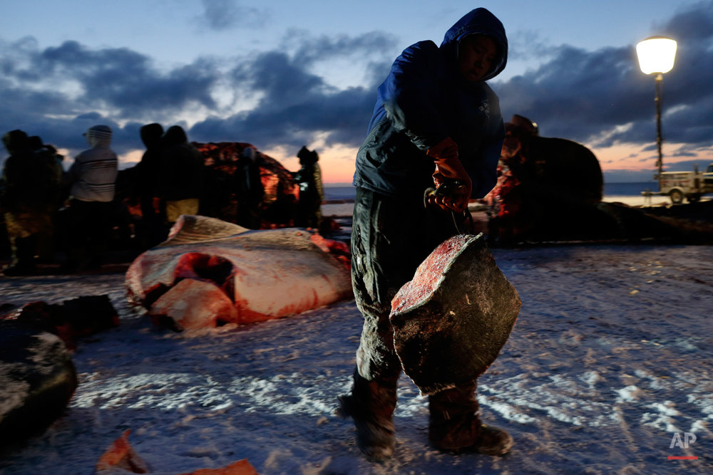 In this Oct. 7, 2014, photo, a man hauls whale blubber as a bowhead whale is butchered near Barrow, Alaska. The whale skin and blubber, known as muktuk, is prized by the Inupiat, and often eaten frozen. (AP Photo/Gregory Bull)