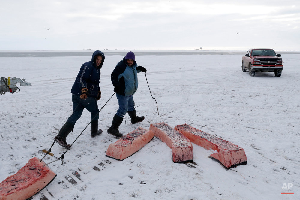 In this Oct. 7, 2014, photo, men haul sections of whale skin and blubber, known as muktuk, as a bowhead whale is butchered in a field near Barrow, Alaska. Once divided, muktuk is shared throughout the community. Some sections are even placed into duct-taped coolers and shipped by plane to elders living in warmer climates farther south. (AP Photo/Gregory Bull)
