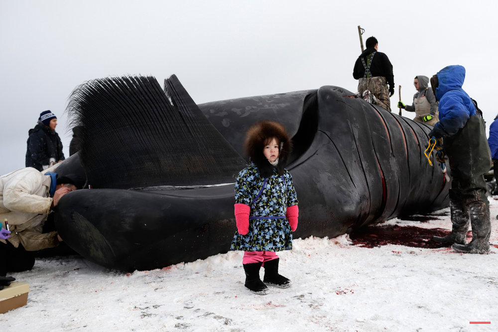 In this Oct. 7, 2014, photo, Kendra Aiken stands wearing a parka made by her grandmother, as she poses for a picture for her parents in front of work on a bowhead whale in a field near Barrow, Alaska. Children of Barrow too small to help with the hooking and cutting, are still brought down to the whale, while family members point and explain the process. (AP Photo/Gregory Bull)