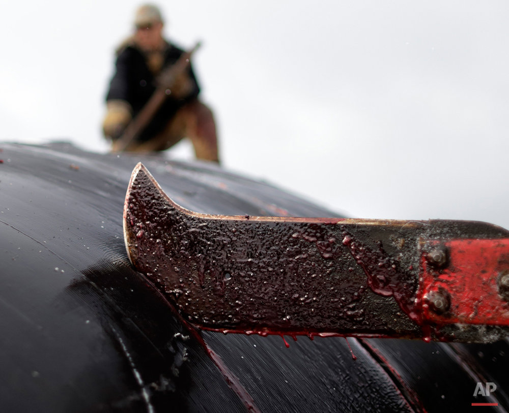 In this Oct. 7, 2014, photo, a cutter slices through skin and blubber atop a bowhead whale in a field near Barrow, Alaska. Following tradition, a section of the skin and blubber will be reserved for the captain of the boat, who will open his home to the community for a feast in the coming days. (AP Photo/Gregory Bull)
