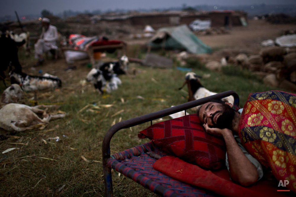 "A Pakistani livestock merchant, sleeps on the side of the road next to his animals, displayed for sale in preparation for the upcoming Muslim holiday of Eid al-Adha, or ""Feast of Sacrifice"", on the outskirts of Islamabad, Pakistan, early Wednesday, Oct. 1, 2014. Muslims around the world will mark Eid al-Adha, as the biggest holiday of the Islamic calendar. It commemorates the willingness of the prophet Ibrahim _ or Abraham, as he is known in the Bible _ to sacrifice his son in accordance with God's will, though in the end God provides him a sheep to sacrifice instead. (AP Photo/Muhammed Muheisen)"