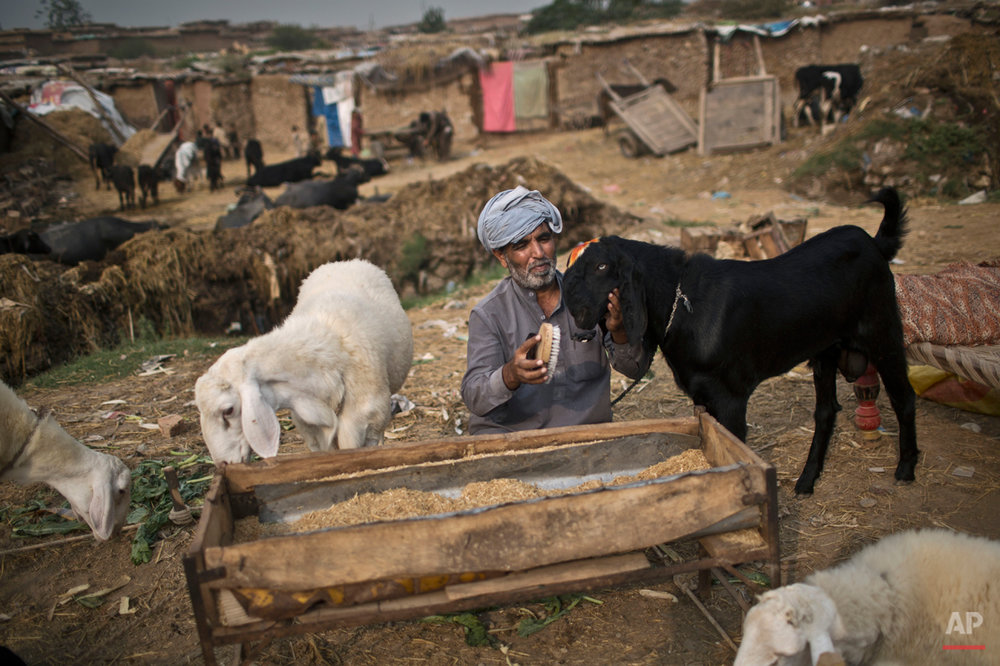 "A Pakistani man combs the hair of his goat, displayed with others for sale, in preparation for the upcoming Muslim holiday of Eid al-Adha, or ""Feast of Sacrifice"", on the outskirts of Islamabad, Pakistan, Tuesday, Sept. 30, 2014. (AP Photo/Muhammed Muheisen)"