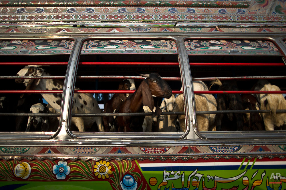 "Goats look out of a bus window, while being transported to a near by livestock market, to be displayed for sale in preparation for the upcoming Muslim holiday of Eid al-Adha, or ""Feast of Sacrifice"", on the outskirts of Islamabad, Pakistan, Thursday, Oct. 2, 2014. Muslims around the world will mark Eid al-Adha, as the biggest holiday of the Islamic calendar. It commemorates the willingness of the prophet Ibrahim _ or Abraham, as he is known in the Bible _ to sacrifice his son in accordance with God's will, though in the end God provides him a sheep to sacrifice instead. (AP Photo/Muhammed Muheisen)"